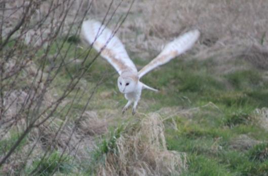 IMG_1957Barn owl (2) (640x422)