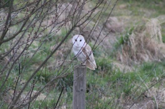 IMG_1958Barn owl (2) (640x427)