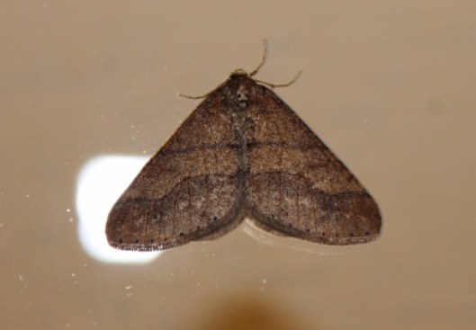IMG_1967Dotted Border Moth (640x445)