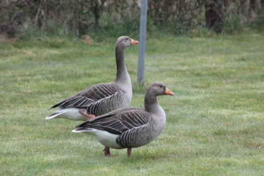IMG_1972Greylag goose and gander (640x427)