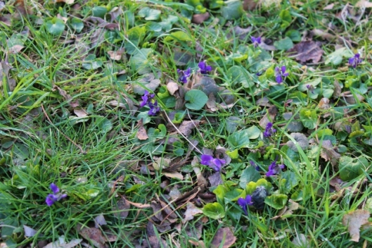IMG_1987Early Dog-violets (640x427)