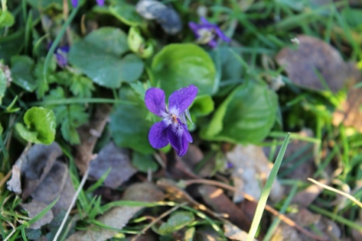 IMG_1988Early Dog-violet (640x427)