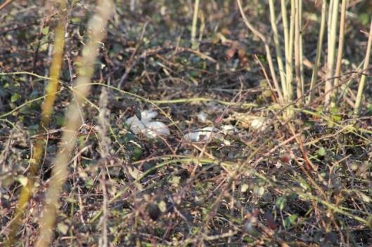 IMG_1992Goose nest (640x427)