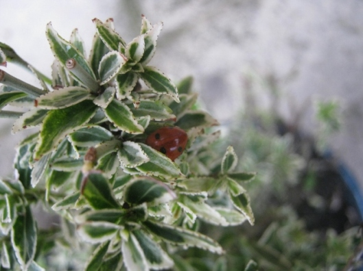 IMG_4076Ladybird on euonymus (640x480)