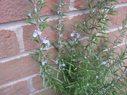 IMG_4078Rosemary in flower (640x480)
