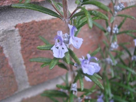 IMG_4079Rosemary flowers (640x480)