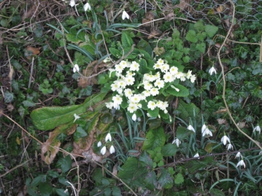 IMG_4098Primroses and snowdrops (640x480)