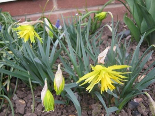 IMG_4235Rip van Winkle daffodils (640x480)