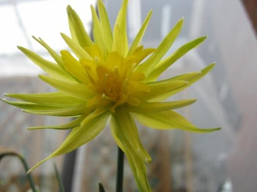 IMG_4237Rip van Winkle daffodil (640x480)