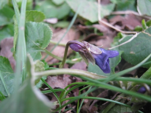 IMG_4238Early Dog-violet (640x480)