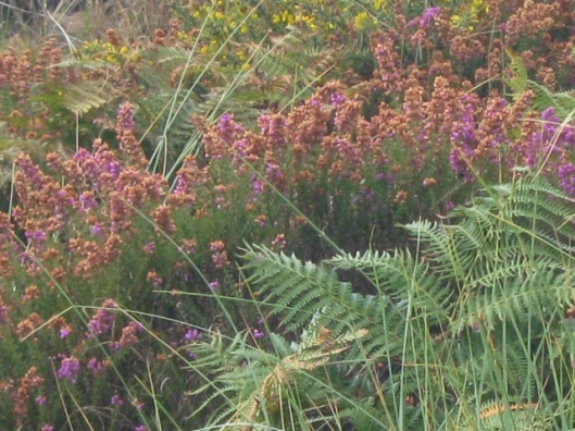 007Heather, gorse and bracken (640x480)