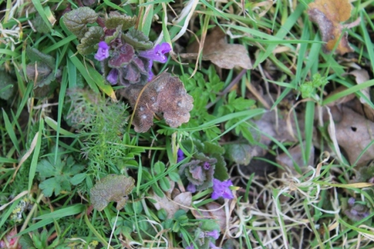IMG_2001Ground-ivy (640x427)
