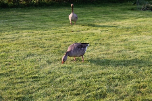 IMG_2055Geese (640x427)