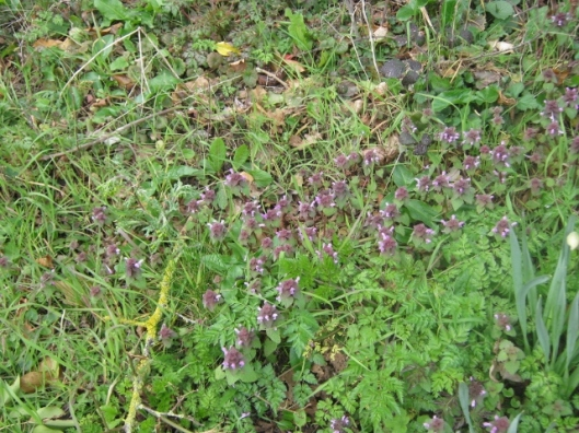 IMG_4337Red Dead-nettle (640x480)