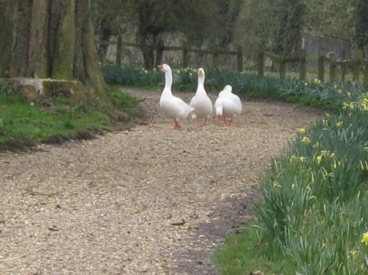 IMG_4338Cordelia's geese (640x480)