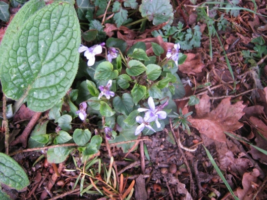 IMG_4340Early Dog-violet (640x480)