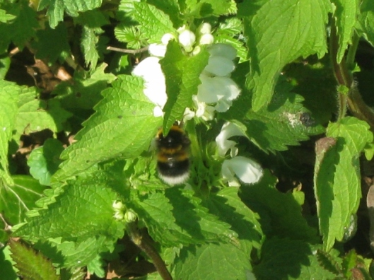 IMG_4449Bumblebee on White Dead-nettle (640x480)