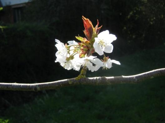 IMG_4460Wild Cherry (640x480)