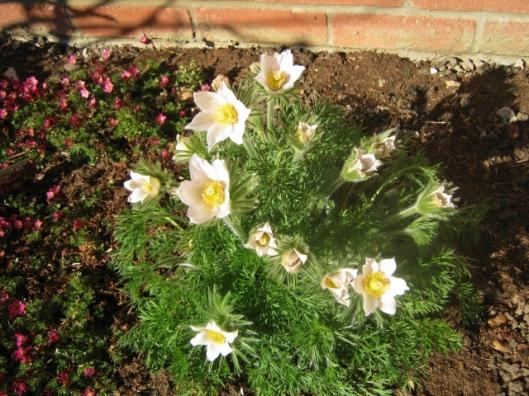 IMG_4462Pasque Flower (640x480)