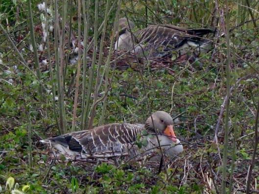IMG_4469Greylags nesting (640x480)