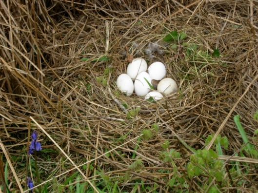 IMG_4472Goose nest (640x480)