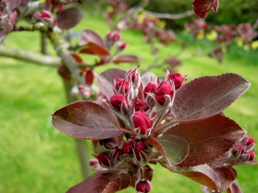 IMG_4476Crabapple 'Harry Baker' (640x480)