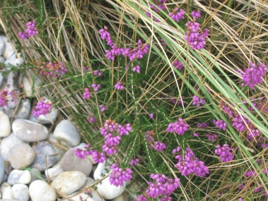 012Heather on the shoreline (640x480)