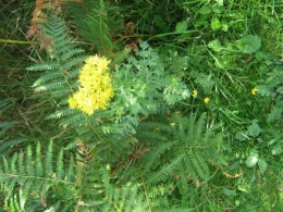 Common Ragwort - Senecio jacobaea