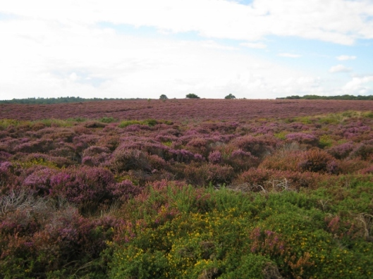 033Dunwich Heath - heather (640x480)