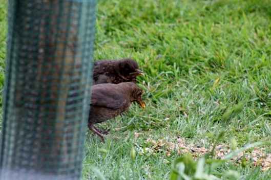 IMG_2079Blackbirds (640x427)