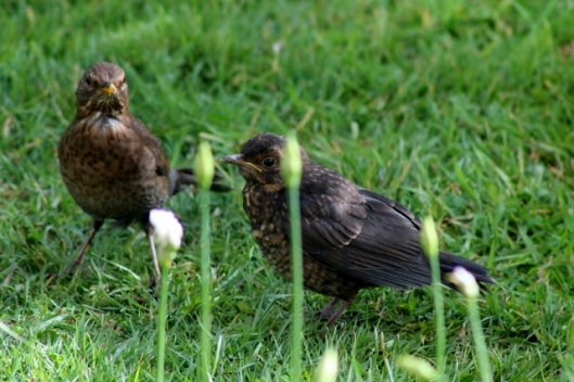 IMG_2080Blackbirds (640x427)