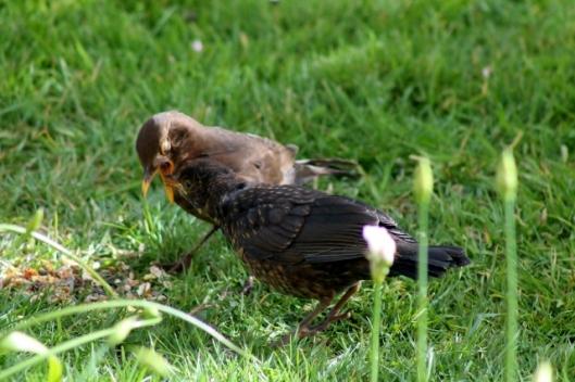 IMG_2082Blackbirds (640x427)