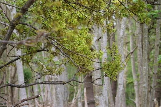 IMG_2223Oak tree (640x427)