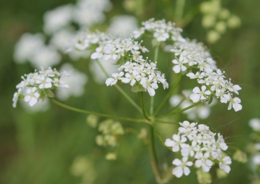 IMG_2232Cow Parsley (640x456)