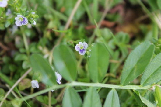 IMG_2248Thyme-leaved Speedwell (640x427)