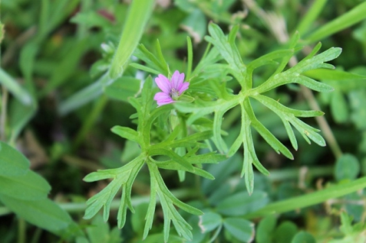IMG_2249Cut-leaved Crane's-bill (640x427)