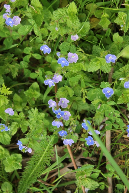 IMG_2250Germander Speedwell (427x640)