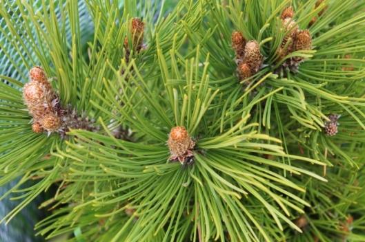 IMG_2257Scots Pine (640x427)
