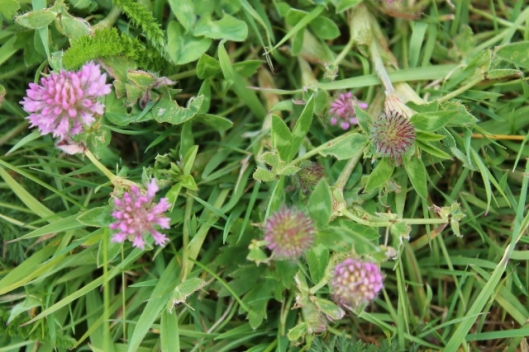 IMG_2258Red Clover (640x427)