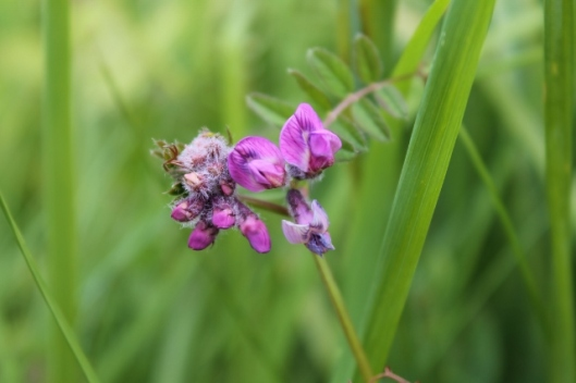IMG_2262Bush Vetch (640x427)