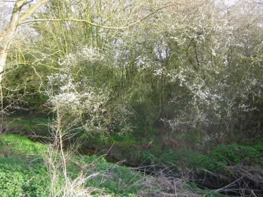 The Beck and blackthorn blossom
