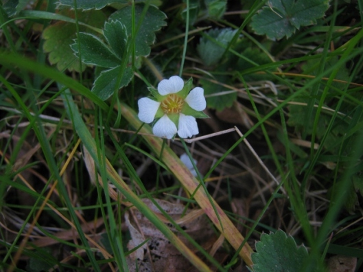 IMG_4397Barren strawberry flower (640x480)
