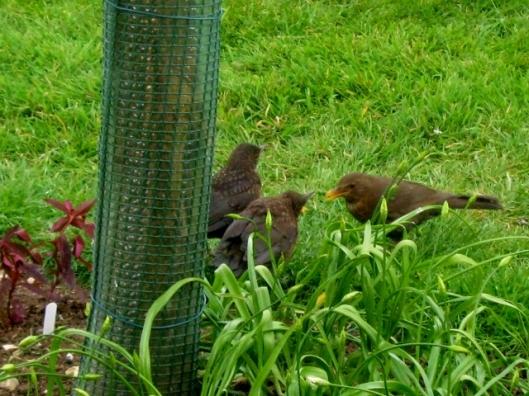 IMG_4537Blackbirds (640x480)
