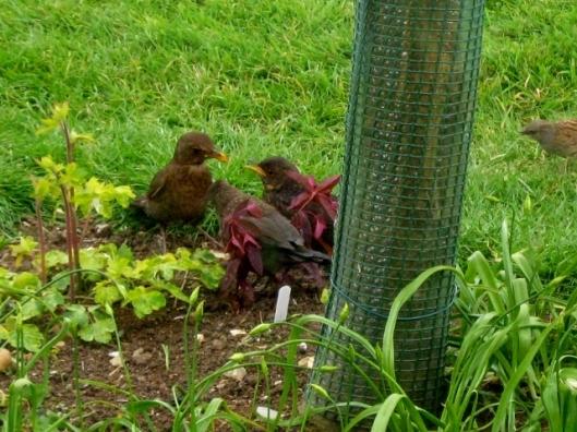 IMG_4538Blackbirds (640x480)
