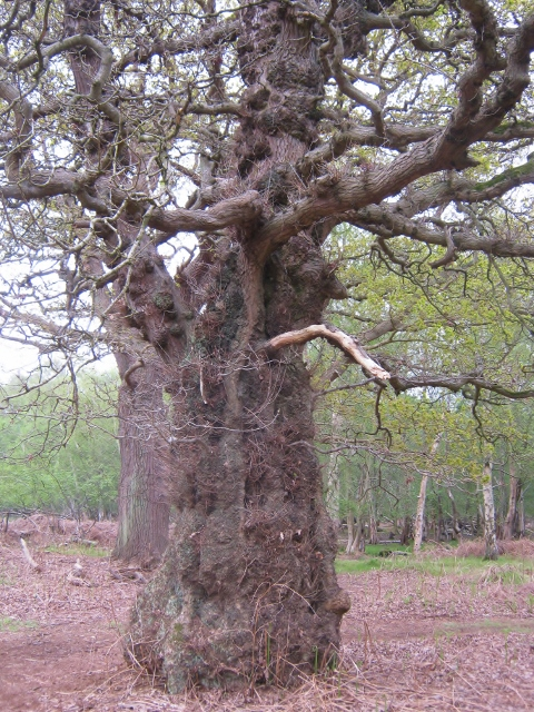 IMG_4591Oak tree (480x640)