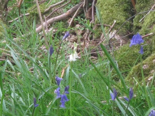 IMG_4612White Bluebell (640x480)