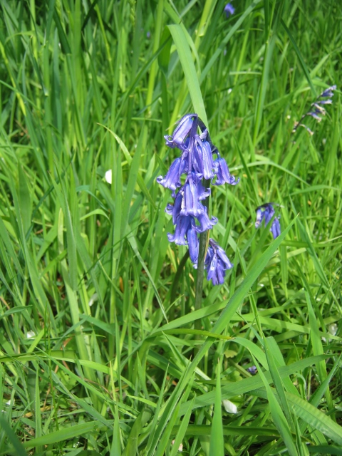 IMG_4635Bluebell (480x640)