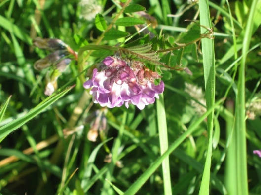IMG_4636Bush Vetch (640x480)