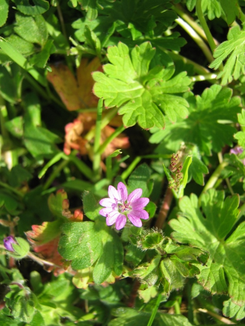 IMG_4640Dove's-foot Crane's-bill (480x640)