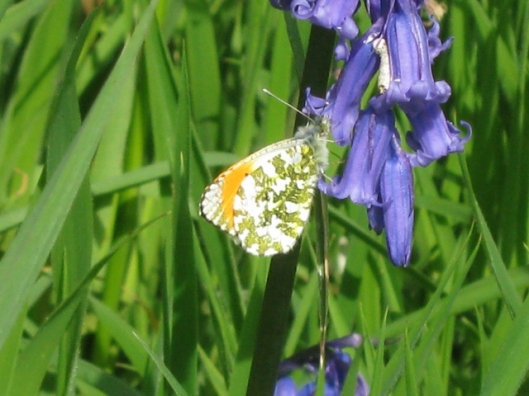 IMG_4645Orange-tip on bluebell (640x480)